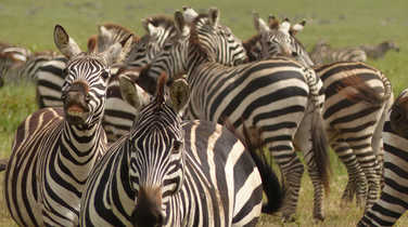 Zebras in the Serengeti National Park