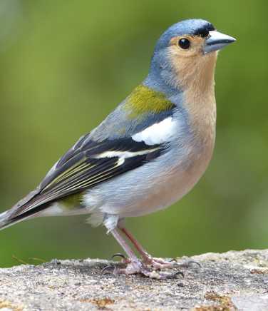 Birdlife on Madeira