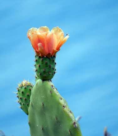 Cactus flower on Madeira