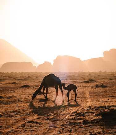 Camels in the Wadi Rum desert