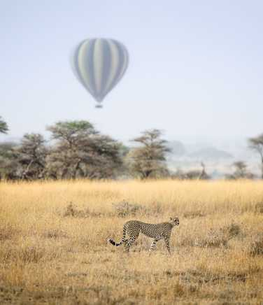Cheetah and air baloon in Serengeti National Park