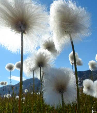 Cotton grass in Greenland