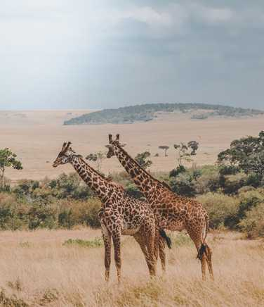 Giraffe in the Masai Mara Reserve