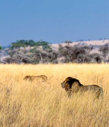 Herd of lions in the savannah