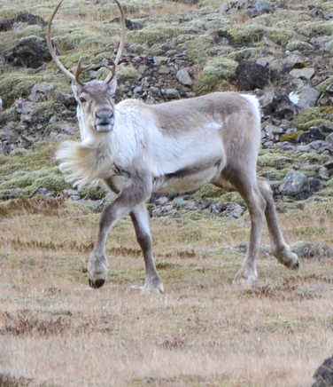 Reindeer of Iceland