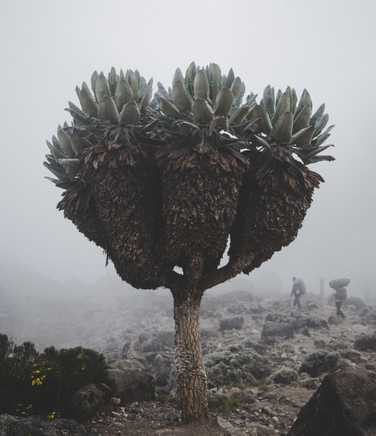 Senecio tree along the way to the top of Kilimanjaro