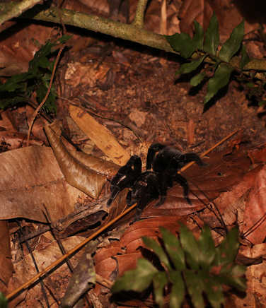 Tarantulas spotting at night in the Amazon rainforest