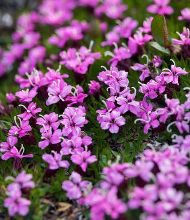 Wild flower of Arctic