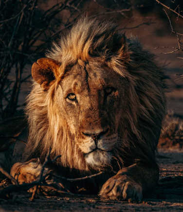Wild lion in Tanzania