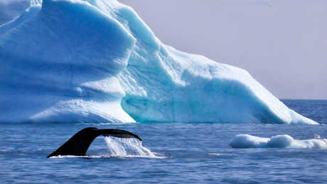 Humpback whale in Greenland