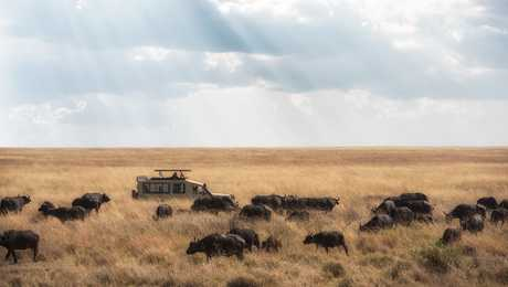 Meeting with a herd of buffalos