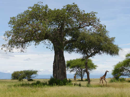 Giraffes in the Serengeti National Park