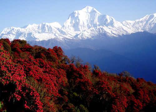 Rhododendrons in Bhutan