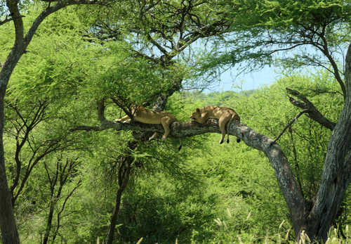 Sleeping lions in a Tanzanian National Park