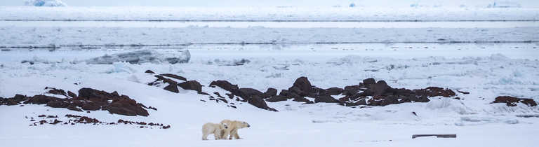 Polar bears during Winter in Svalbard