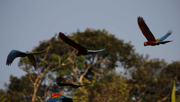 Red macaws flying