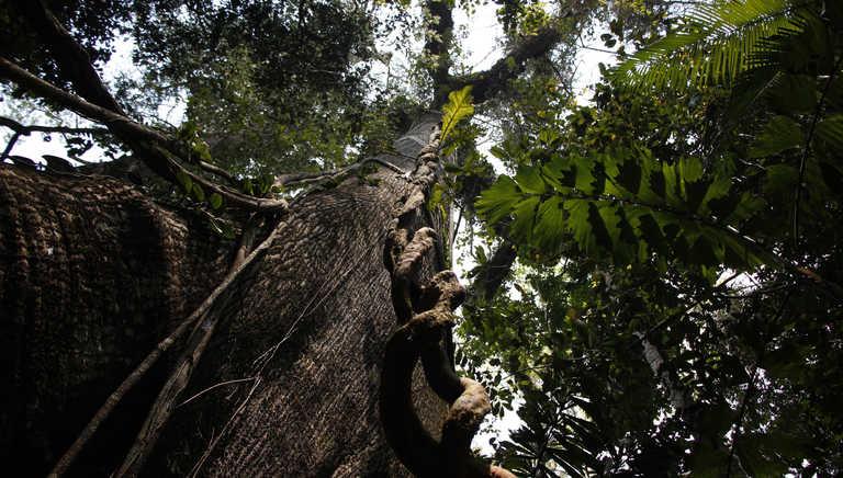 Tree in the Amazon rainforest