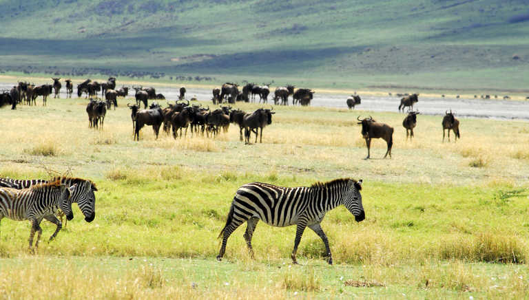 Zebras and buffalos in the Ngorongoro crater
