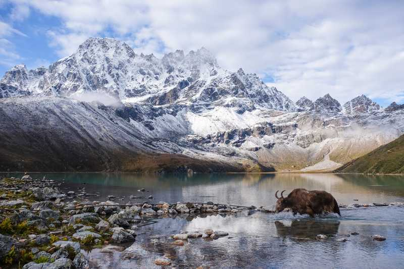 Yak crossing the Gokyo lake, Khumjung, Nepal